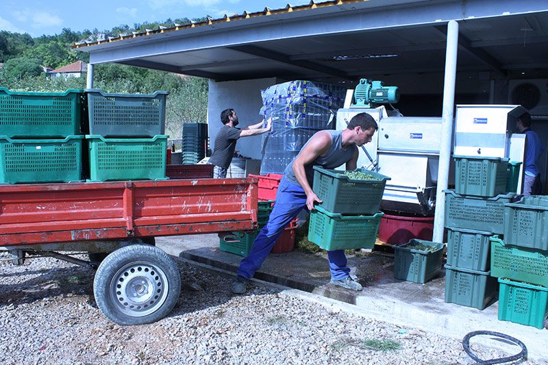 Unload chardonnay grapes from the vineyard