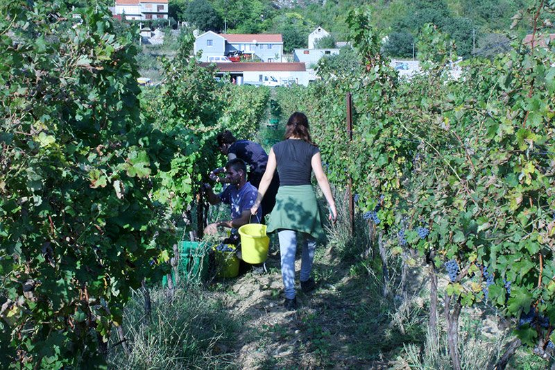 Grape harvesters at Krolo Winery
