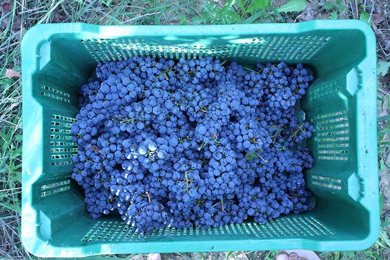 Harvested cabernet sauvignon grapes in Croatia