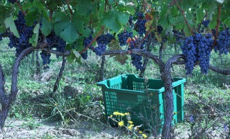 krolo-grapevines