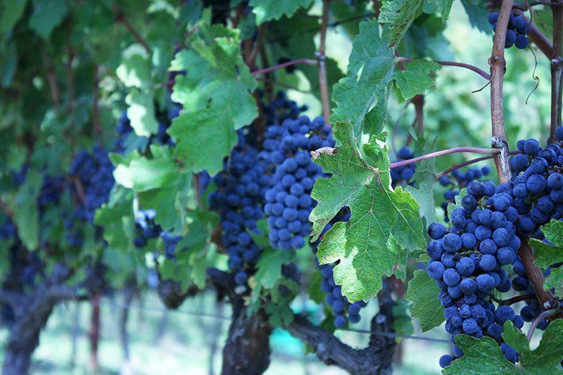 Cabernet sauvignon grapevines in Croatia