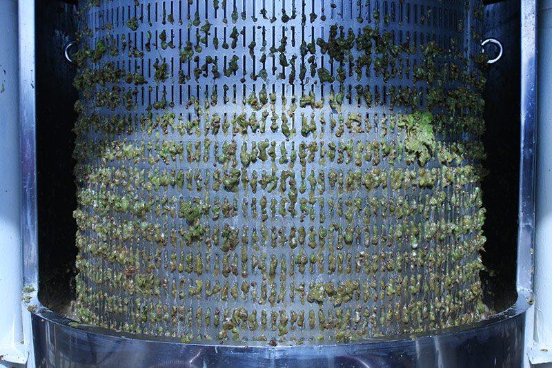 Pressing chardonnay grapes
